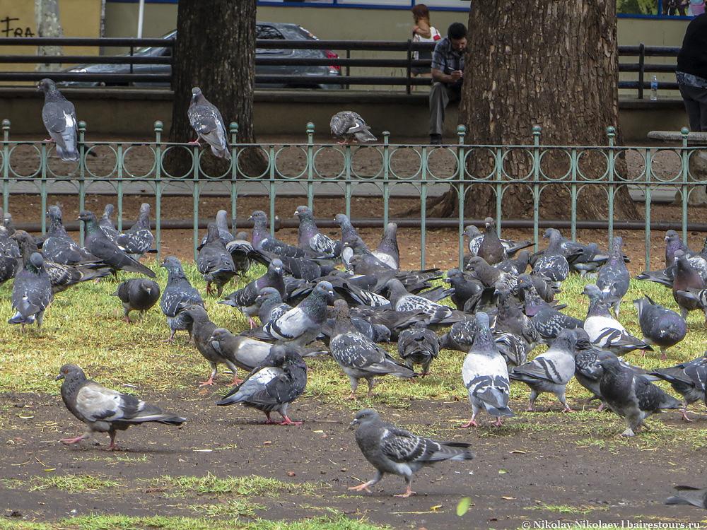 23. Главные площади Буэнос-Айреса давно облюбовали крылатые крысы, тут им всегда сытно и хорошо.