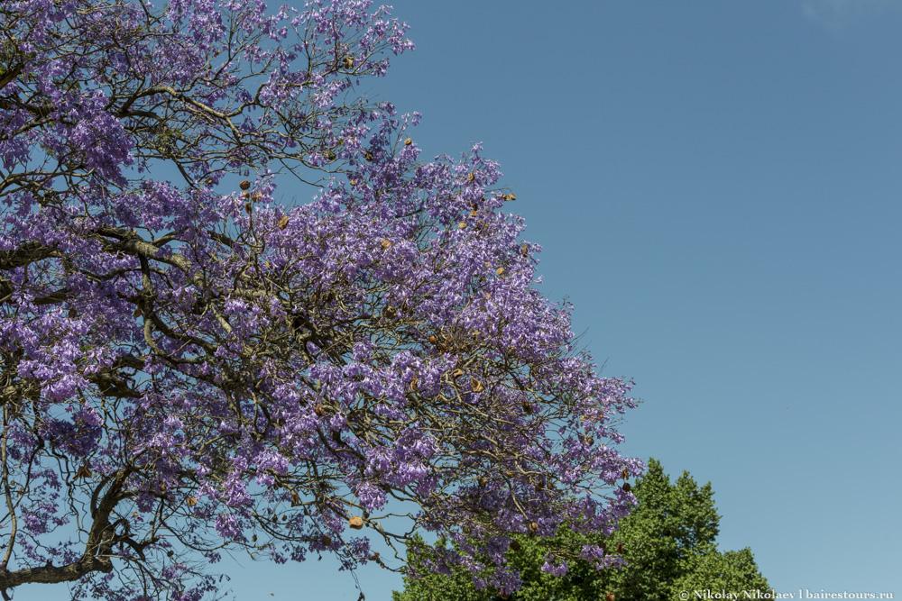 34. Но все же отвлечемся от мира загробного и вернемся в Реколету светскую. А она местами очень красива, особенно в ноябре, когда цветет джакаранда.