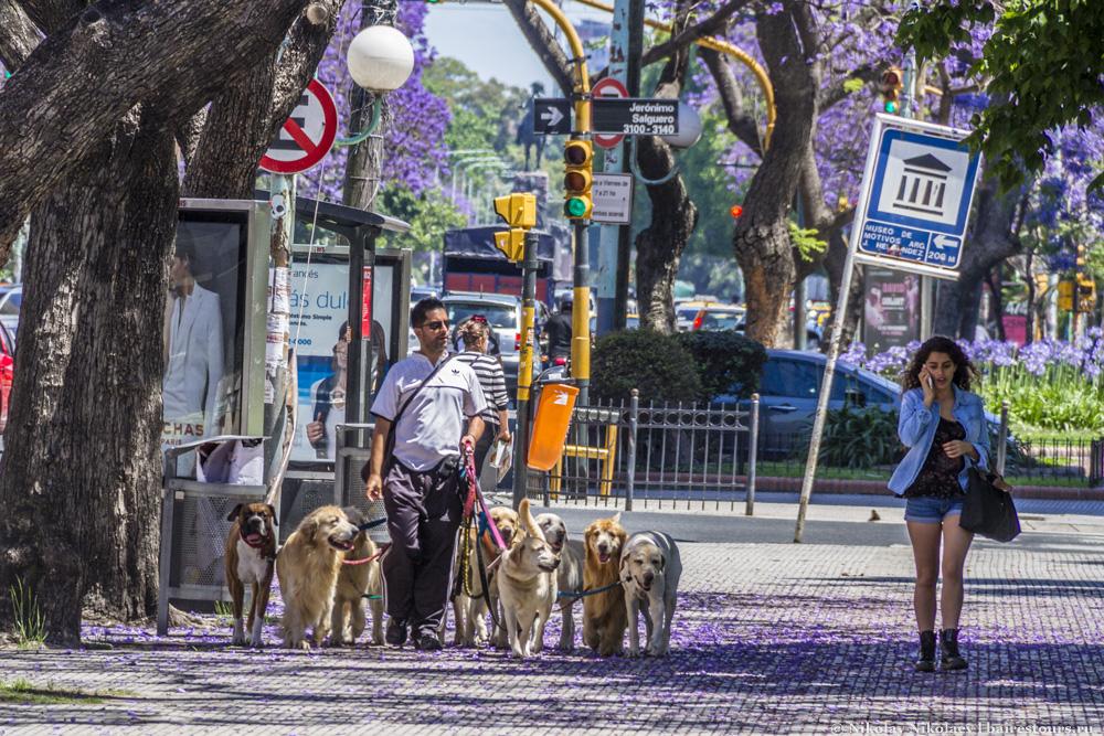 62. Как раз в таких богатых районах нередко можно встретить профессиональных выгульщиков собак. Профессия не слишком пыльная, но зато весьма неплохо оплачиваемая.