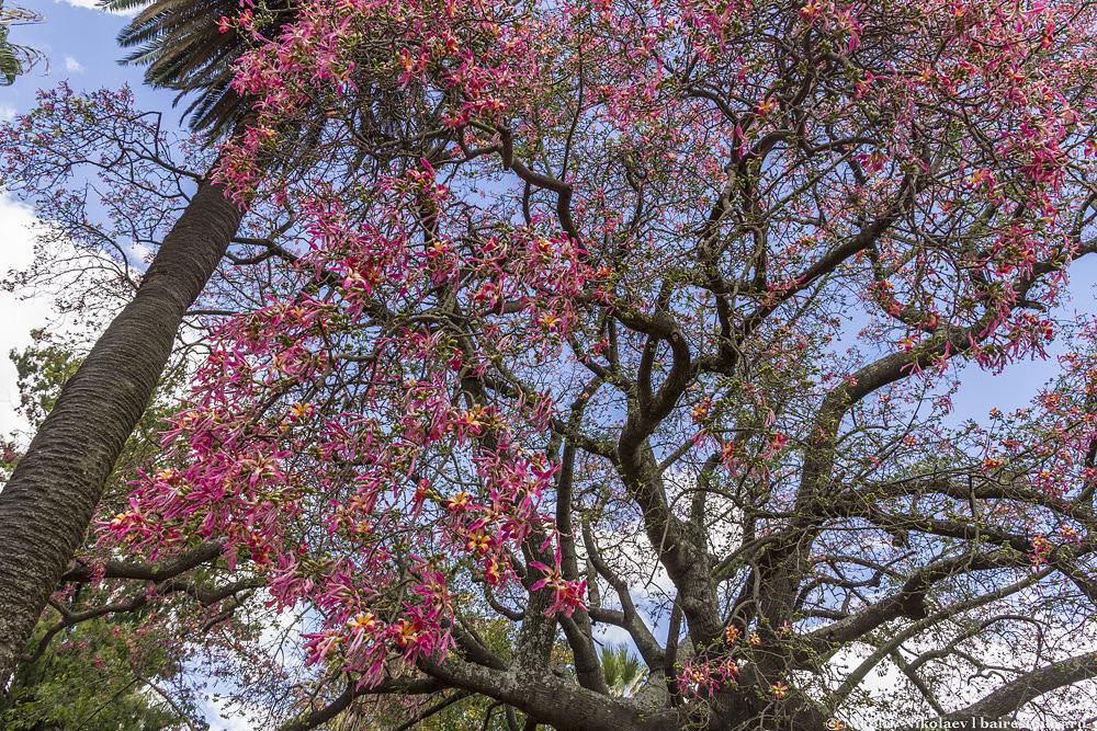 29. Почти в любое время года можно найти какое-нибудь прекрасное цветущее дерево. Даже зимой в Буэнос-Айресе это не редкость, особенно в японском саду.