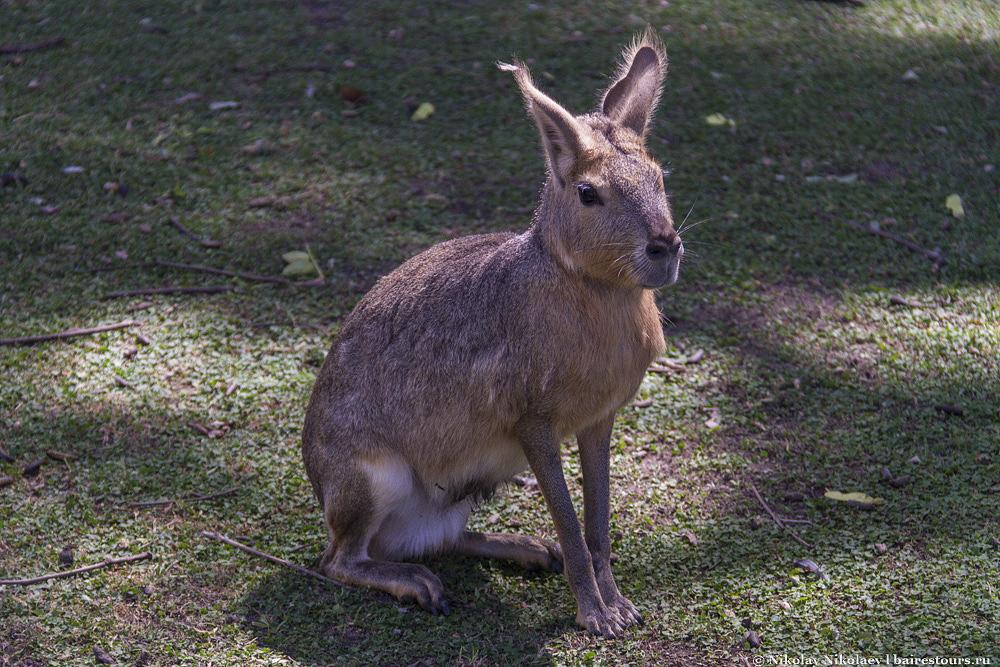 15. Этого зверька зовут Мара или патагонский заяц. Очень редкий вид, обитающий только в Патагонии. Поскольку существо безобидное, Маре в зоопарке дозволено все. Они вальяжно расхаживают по всему зоопарку и клянчат еду.