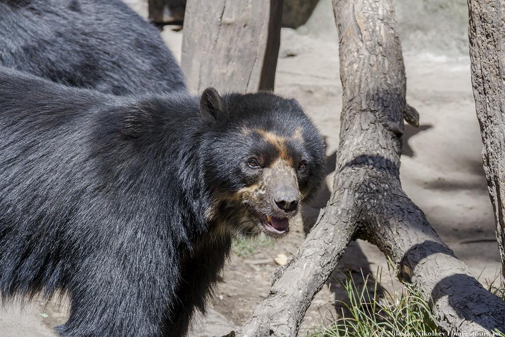 17. Эти медведи мне показались самыми несчастными во всем зоопарке, хотя, возможно, что они просто так выглядят и в самой природе. Крайне редкий вид, встречающийся только в Эквадоре.
