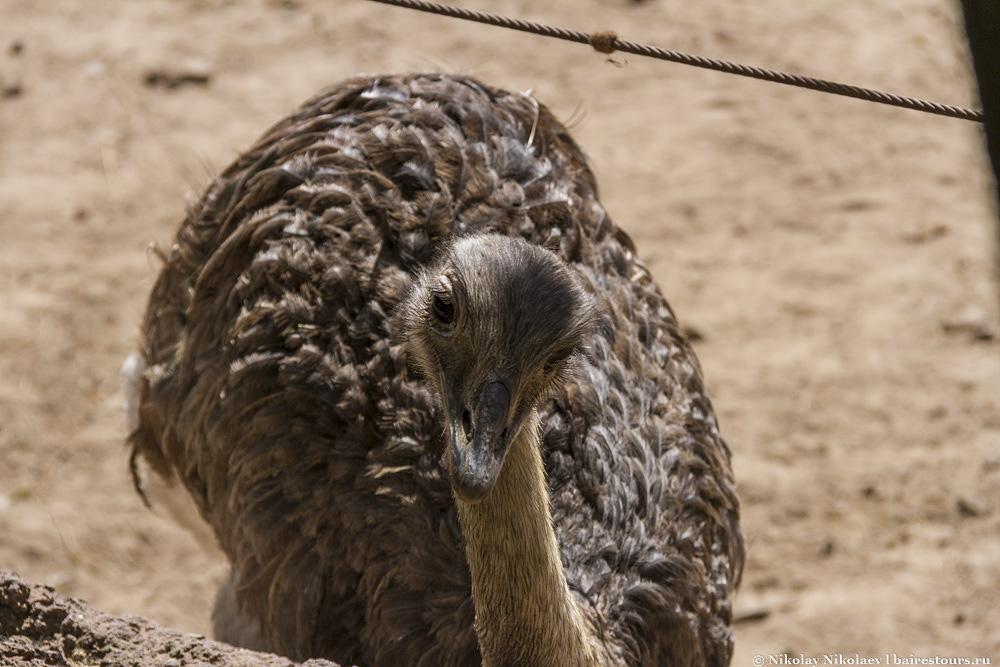 32. Наглый страус.
