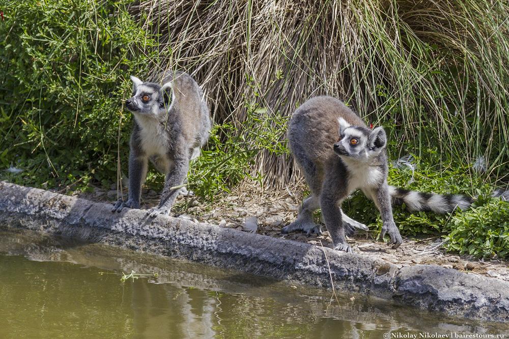 37. С этими зверюшками точно не соскучишься. Лемуры -пожалуй, самые забавные питомцы этого зоопарка.