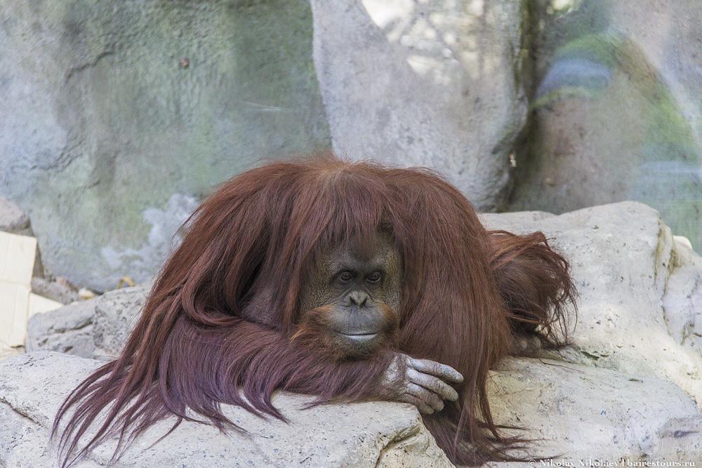 40. Орангутанг тоже особо ни на что не жалуется.  Еще бы, с таким куском земли в одном из самых престижных районов Буэнос-Айреса, да еще кормят и особо не трогают.