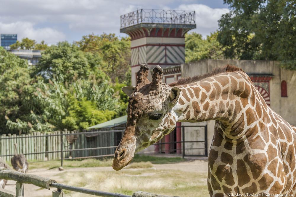 42. Жирафам тут тесновато.