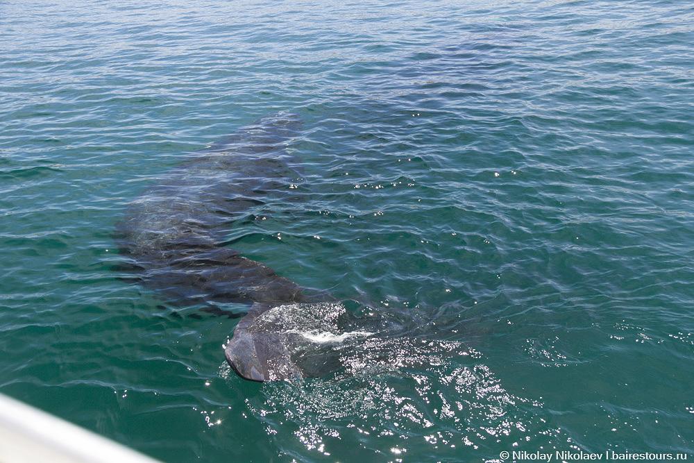 40. Мы были в ноябре, когда китов уже было не так много и они были не так активны как месяц-другой назад, но, тем не менее, эти любопытные животные не стесняются подплывать совсем близко к лодкам.