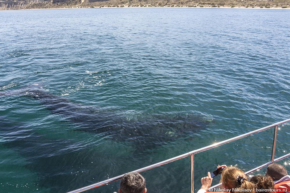 43. Это детеныш с мамой. Надо сказать, что ощущения непередаваемые, когда видишь, что под большую лодку на 60 человек заплыло существо больше ее, и которое без особых усилий может ее перевернуть просто взмахнув хвостом. Но киты ведут себя очень спокойно.