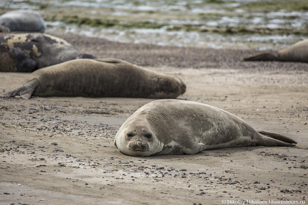 58. Многие тюлени пугаются людей и сматываются в воду, некоторым же вообще нет никакого дела.