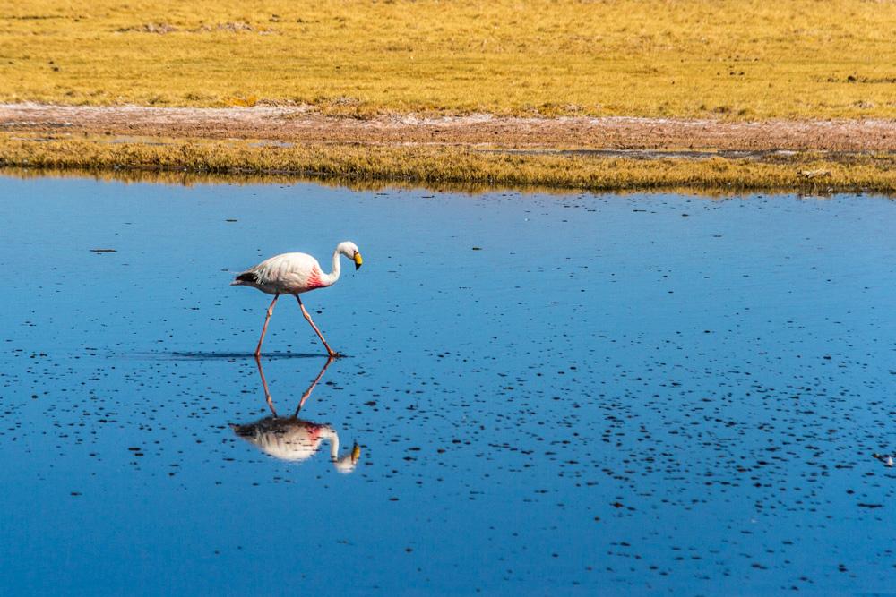Экспедиция по аргентинской Пуне. Андийский фламинго.