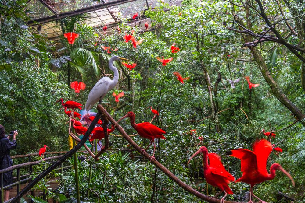 Красные ирбисы в Фос-до-Игуацу